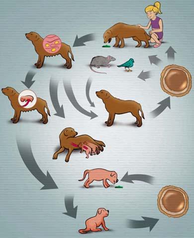 Ciclo de Vida - Toxocara Canis